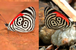 "Maravillas de la naturaleza: mariposas ""88"" y ""89"" (Video)"